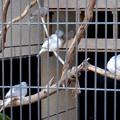 Photos: グリーンピア春日井 動物ふれあい広場の動物 - 34:ウスユキバト
