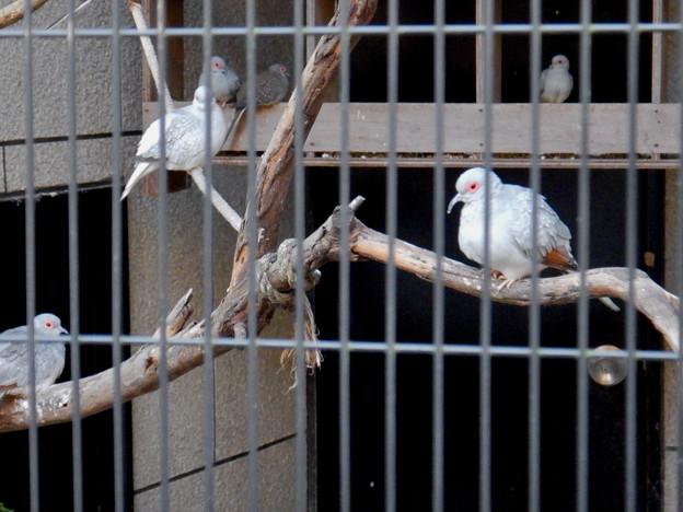グリーンピア春日井 動物ふれあい広場の動物 - 35:ウスユキバト