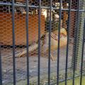 Photos: グリーンピア春日井 動物ふれあい広場の動物 - 38:寝ていたオウゴンキンケイ