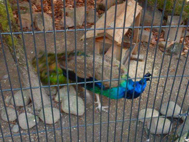 グリーンピア春日井 動物ふれあい広場の動物 - 39:インドクジャク