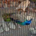 Photos: グリーンピア春日井 動物ふれあい広場の動物 - 39:インドクジャク