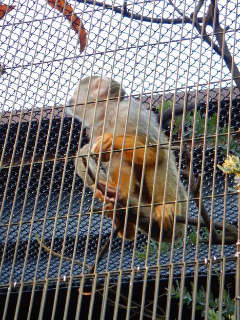 グリーンピア春日井 動物ふれあい広場の動物 - 46:コモンリスザル
