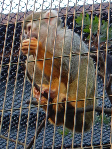グリーンピア春日井 動物ふれあい広場の動物 - 52:コモンリスザル