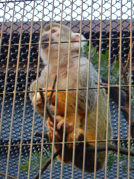 グリーンピア春日井 動物ふれあい広場の動物 - 53:コモンリスザル