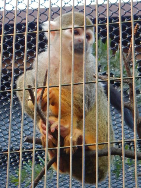 グリーンピア春日井 動物ふれあい広場の動物 - 54:コモンリスザル