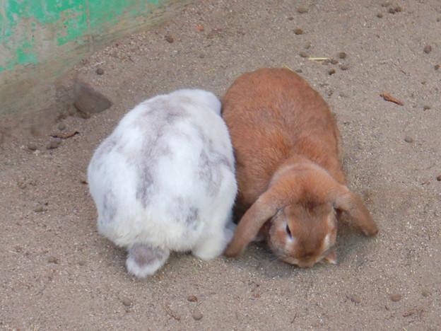 グリーンピア春日井 動物ふれあい広場の動物 - 2:ホランド・ロップ種のウサギ