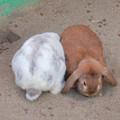 Photos: グリーンピア春日井 動物ふれあい広場の動物 - 2:ホランド・ロップ種のウサギ