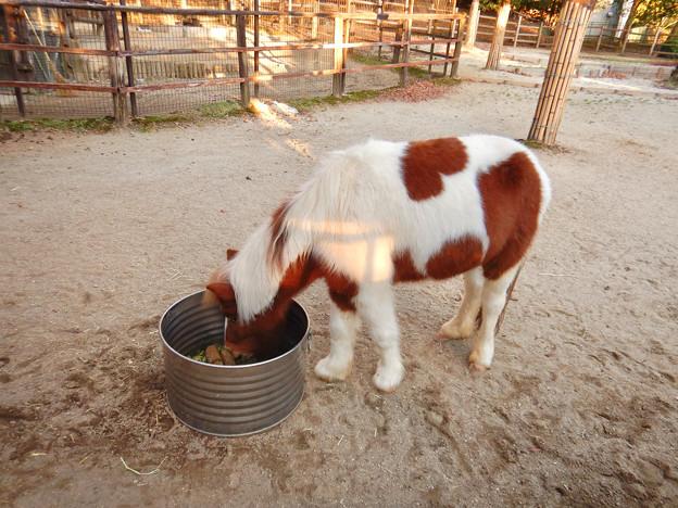 グリーンピア春日井 動物ふれあい広場の動物 - 5:食事中のポニー