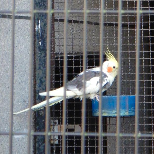 グリーンピア春日井 動物ふれあい広場の動物 - 9:オカメインコ