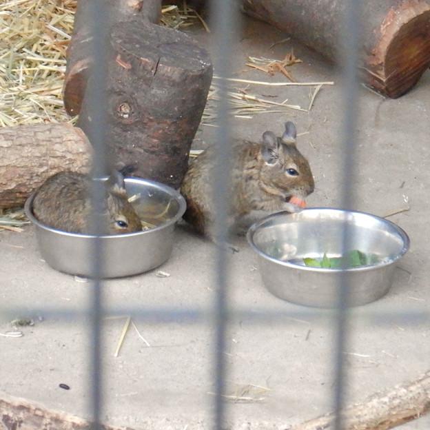 グリーンピア春日井 動物ふれあい広場の動物 - 13:デグー