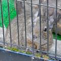 Photos: グリーンピア春日井 動物ふれあい広場の動物 - 23:デグー