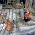 グリーンピア春日井 動物ふれあい広場の動物 - 26:東天紅鶏(トウテンコウ)