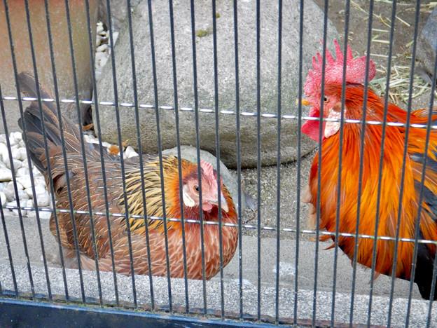 Photos: グリーンピア春日井 動物ふれあい広場の動物 - 27:東天紅鶏(トウテンコウ)