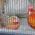 グリーンピア春日井 動物ふれあい広場の動物 - 27:東天紅鶏(トウテンコウ)