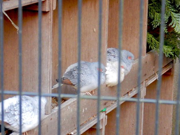グリーンピア春日井 動物ふれあい広場の動物 - 28:ウスユキバト