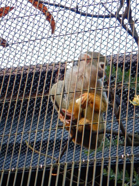 グリーンピア春日井 動物ふれあい広場の動物 - 47:コモンリスザル