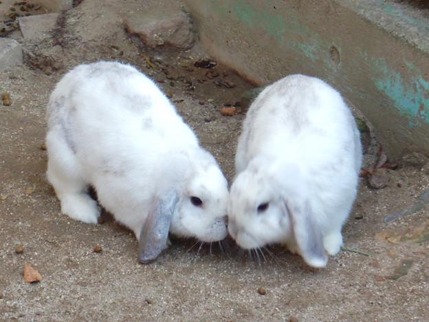 グリーンピア春日井 動物ふれあい広場の動物 - 3:ホランド・ロップ種のウサギ