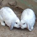 Photos: グリーンピア春日井 動物ふれあい広場の動物 - 3:ホランド・ロップ種のウサギ