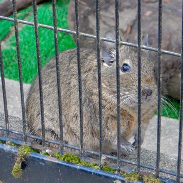 グリーンピア春日井 動物ふれあい広場の動物 - 21:デグー