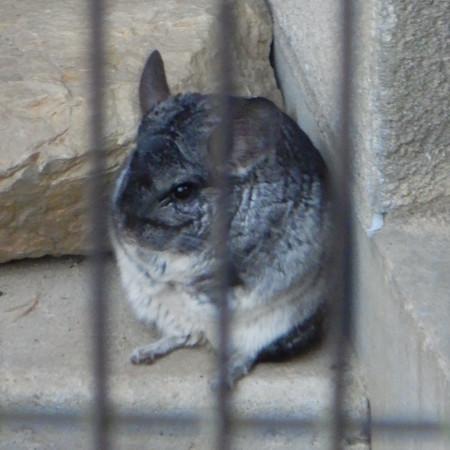 グリーンピア春日井 動物ふれあい広場の動物 - 12:チンチラ