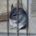 Photos: グリーンピア春日井 動物ふれあい広場の動物 - 12:チンチラ