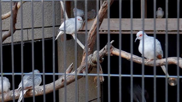 グリーンピア春日井 動物ふれあい広場の動物 - 36:ウスユキバト