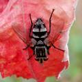 Photos: 赤い葉っぱの上にいた縞模様のハエ(ブランコヤドリバエ?) - 2