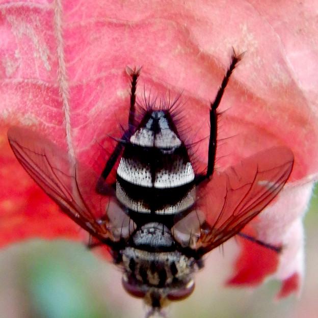 Photos: 赤い葉っぱの上にいた縞模様のハエ(ブランコヤドリバエ?) - 4