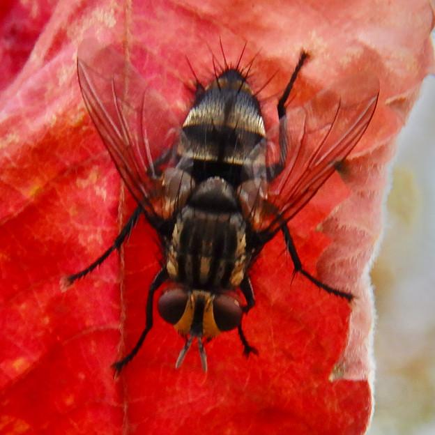 赤い葉っぱの上にいた縞模様のハエ(ブランコヤドリバエ?) - 6