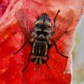 Photos: 赤い葉っぱの上にいた縞模様のハエ(ブランコヤドリバエ?) - 6