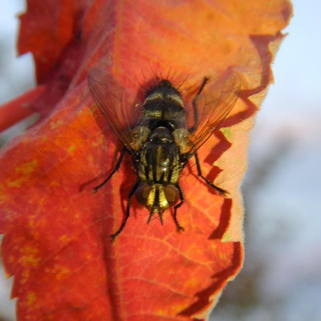 赤い葉っぱの上にいた縞模様のハエ(ブランコヤドリバエ?) - 7