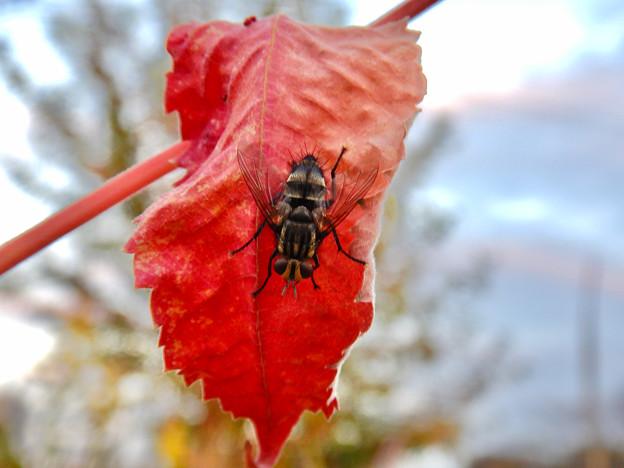 赤い葉っぱの上にいた縞模様のハエ(ブランコヤドリバエ?) - 5