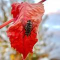 Photos: 赤い葉っぱの上にいた縞模様のハエ(ブランコヤドリバエ?) - 5