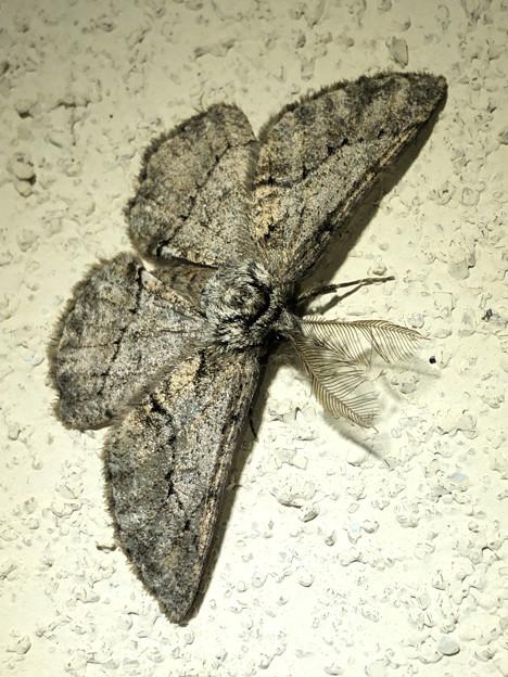 フサフサした蛾 - 8