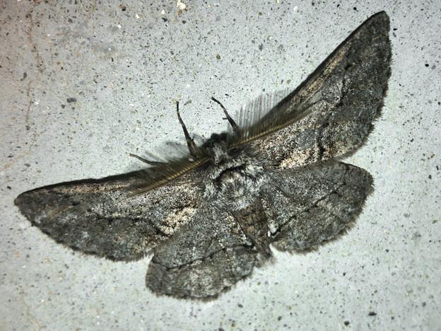 フサフサした蛾 - 9