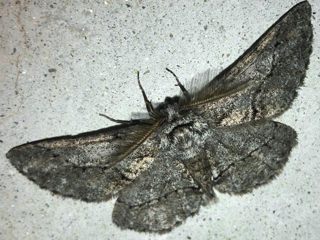 フサフサした蛾 - 10