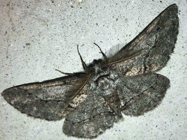 フサフサした蛾 - 11