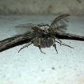 フサフサした蛾 - 13