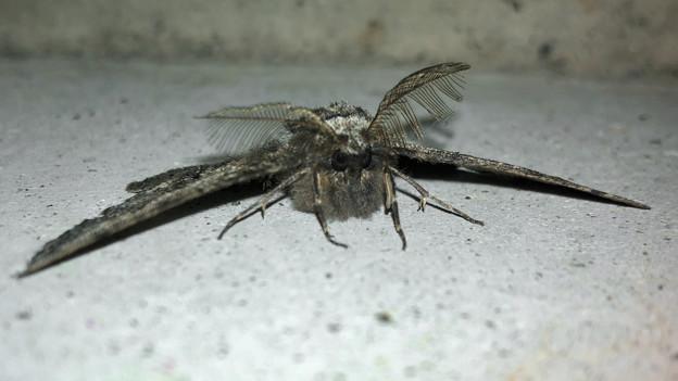 フサフサした蛾 - 14