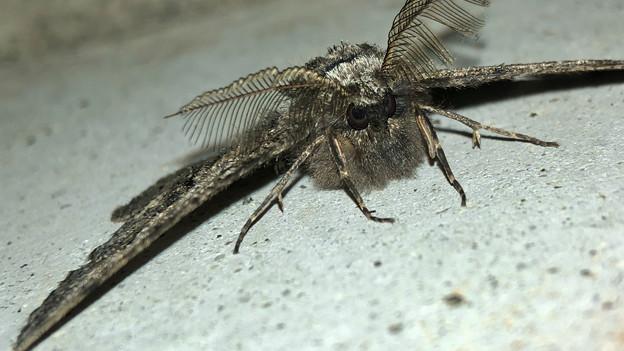 フサフサした蛾 - 15