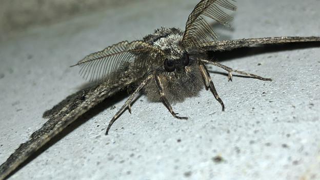 フサフサした蛾 - 16