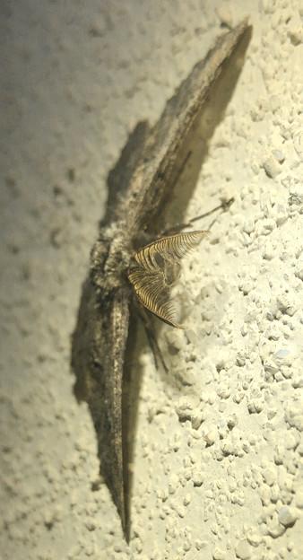 フサフサした蛾 - 5