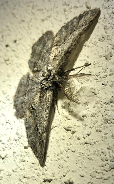 フサフサした蛾 - 6