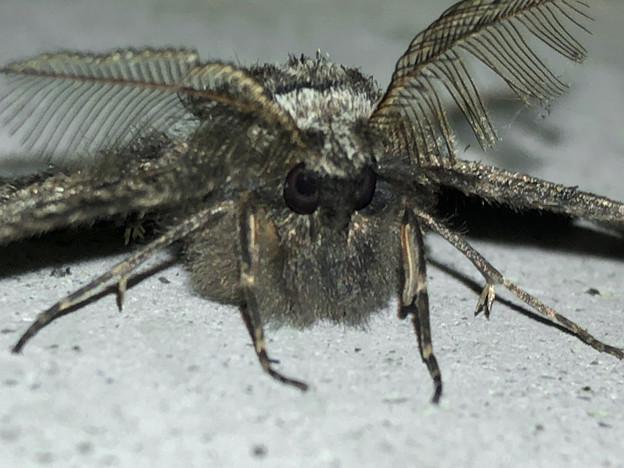 フサフサした蛾 - 12
