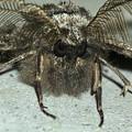 フサフサした蛾 - 17