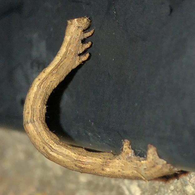 茶色いシャクトリムシ - 4