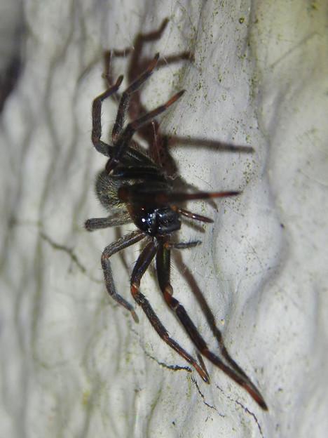 脚に赤いラインがある黒い蜘蛛 - 2
