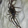 Photos: 脚に赤いラインがある黒い蜘蛛 - 2
