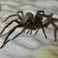 脚に赤いラインがある黒い蜘蛛 - 3