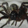 脚に赤いラインがある黒い蜘蛛 - 4